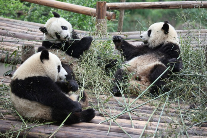 Cheng Du panda reserve_flickr_Dailuo_(CC BY 2.0)